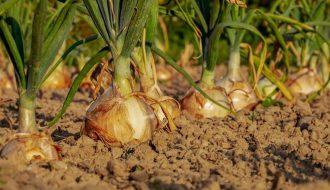 Uprawa warzyw w ogrodzie